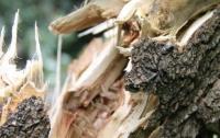 Жуткая смерть: дерево под Полтавой раздавило мужчину