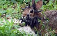 Вирус превратил кролика в маленькое чудовище (ВИДЕО)
