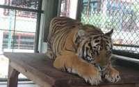 Тигр поквитался с работником зоопарка