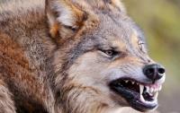 В Запорожской области бешеная волчица искусала троих человек