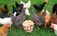 Осенью в Украине снова подорожают курятина и яйца