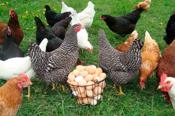 Экспорт влияет нацену— Курятина подорожает