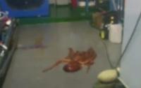 Дерзкий побег: осьминог пытался удрать из зоопарка (видео)
