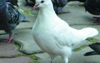 У голубей один предок