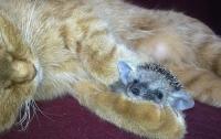 Кошка вырастила и воспитала ежат (ФОТО)
