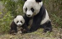 В Китае панда напала на человека и сломала ему обе руки
