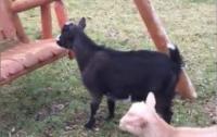 Соцсети рассмешил козленок, обожающий кататься на качелях (видео)