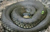 На Львовщине змея отправила мужчину в реанимацию
