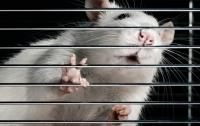Ученые вернули парализованным крысам способность ходить с помощью стволовых клеток